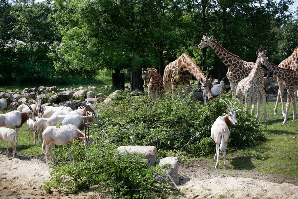 Aalborg Zoo giraffer