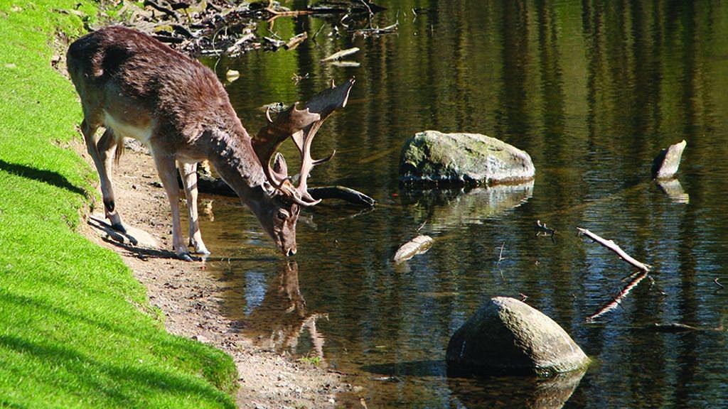I Marselisborg Dyrehave i Aarhus kan du treffe på ulike hjortedyr.