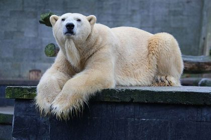 Avkom: Isbjørnene i Aalborg Zoo har fått et avkom i år.